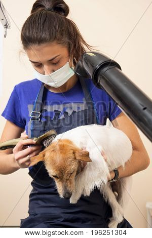 The Groomer Uses A Hair Dryer To Dry Dog.