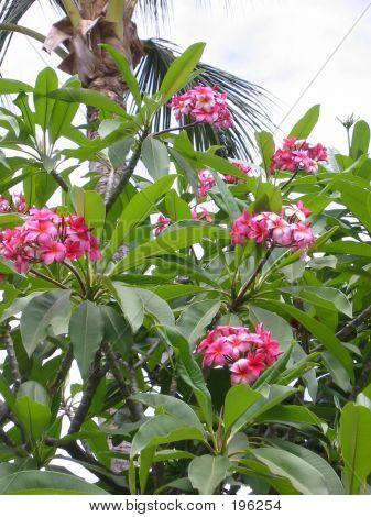Plumaria Flowers