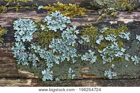 Thickets of mosses and lichens on a rotten tree.