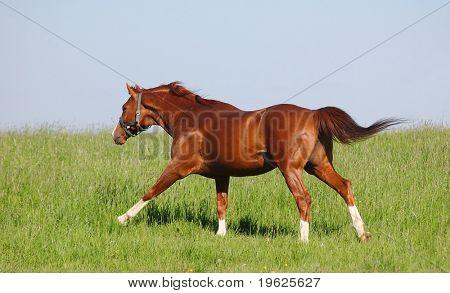trakehner bay stallion poster