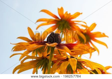 The species of rudbeckia are commonly called coneflowers and black-eyed-susans. All are native to North America and many species are cultivated in gardens for their showy yellow or gold flower heads.