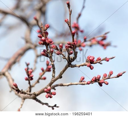 swollen buds with flowers on a tree in spring