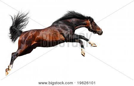 arabian chestnut stallion poster