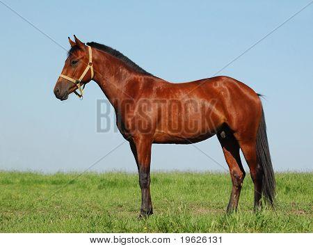 Akhalteke chestnut stallion poster