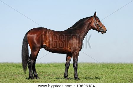 hanoverian chestnut stallion