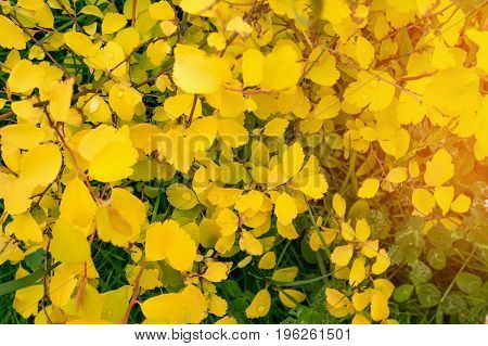 The natural background of small yellow autumn leaves . The horizontal frame.
