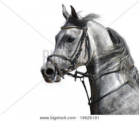 portrait of the arabian stallion poster