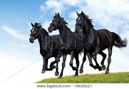 black horses dallop
