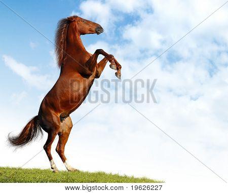 bay horse rears