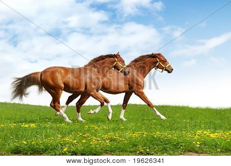 two foals gallop - realistic photo-montage