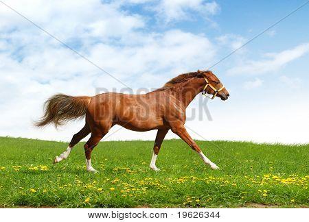 sorrel trakehner foal gallops - realistic photo-montage