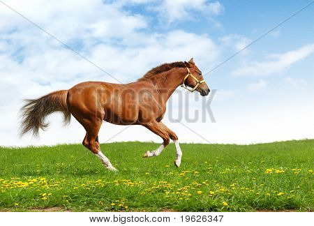 sorrel trakehner foal gallops - realistic photo-montage