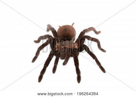 Brachypelma vagans spider Isolated on white background