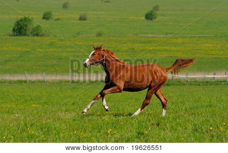 the horse gallops in field