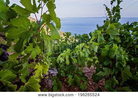 Green Grapes In Mountain Vineyard.