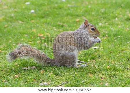 Squirrel eating nuts standing in the grass poster