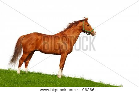 bay horse isolated on white poster