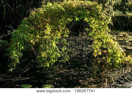 Beauty branch of wild grapes over water