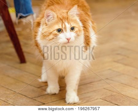 Beauty adult red cat is in tension