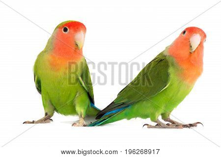two lovebird parrot isolated on a white background, studio shot