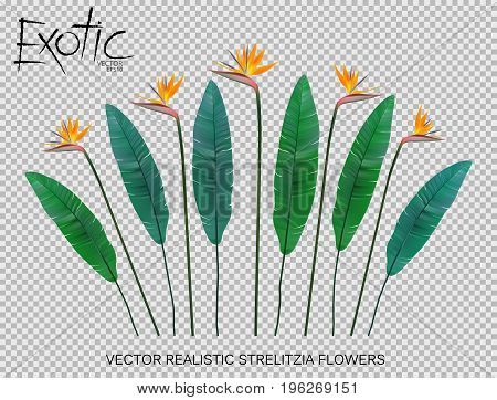 Strelitzia Reginae flower vector illustration collection isolated on transparency grid. Green leaves, yellow blossom realistic design set