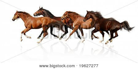 herd gallops - isolated on white