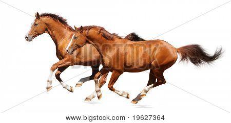 Two gallop horses - sorrel trakehner stallion isolated on white