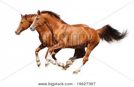 Gallop horses - sorrel trakehner stallion isolated on white