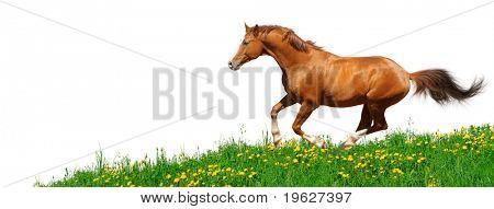 Trakehner stallion gallops in field - isolated on white poster