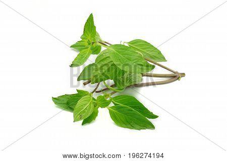 Fresh Thai basil leaves on white background. A kind of food ingredient, spice, herbal plants, traditional medicine, plant extract for aroma therapy. Good for health.