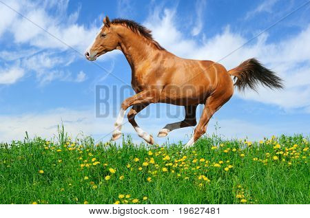 Trakehner sorrel stallion gallops in field