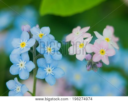 Flowers forget-me-nots blue and pink as a concept of boy and girl attitude of the sexes of love and harmonious relations in the family.