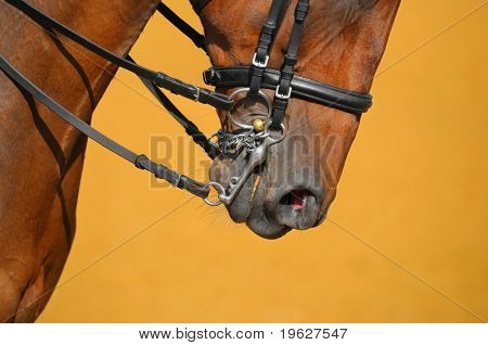 Dressage - muzzle of bay horse poster