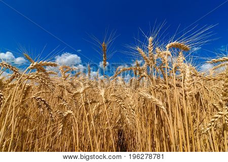 Golden Wheat In The Field In Sunlight With Blue Sky And Clouds, Free Space. Spikes Of Ripe Wheat Fie
