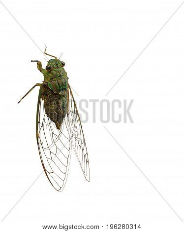 Cicada Isolated on White Background Clipping Path Body and Transparent Wings