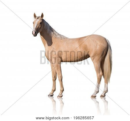 Exterior of  palomino horse with two white legs and white line of the face isolated on white background