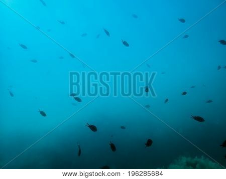 Black fishes in underwater. Blue ocean and fish