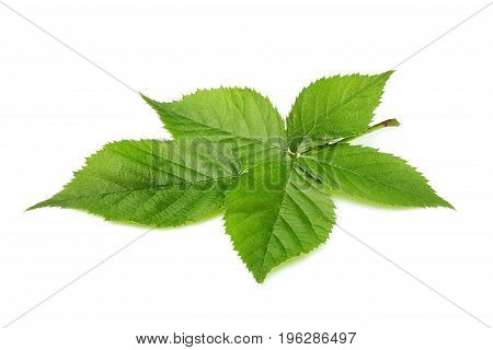 BlackBerry fresh leaves closeup isolated on white background.
