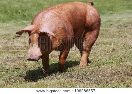 Front view photo of young pig near the farm