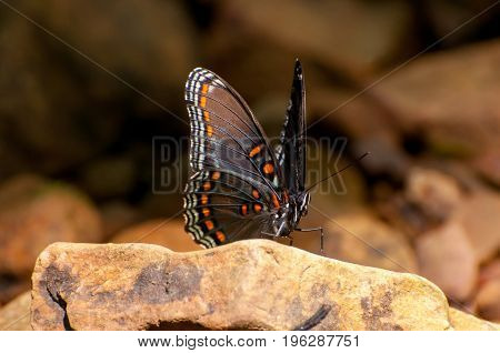 A red spotted purple butterfly on a rock.