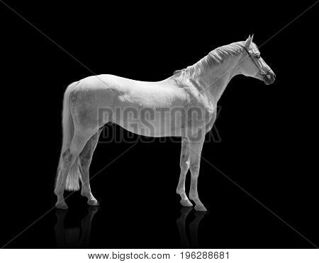 white horse isolated of on the black background