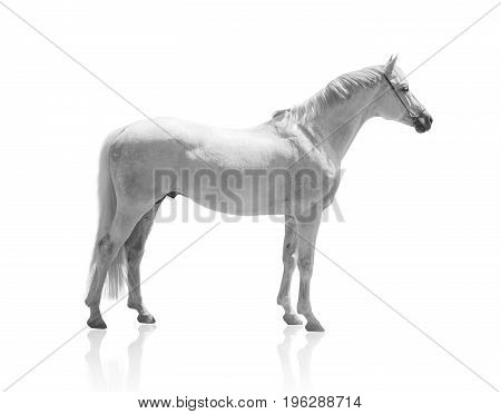 white horse isolated of on the white background