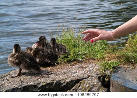 The girl is trying to stroke the ducklings. A woman's hand reaches out to the ducklings.