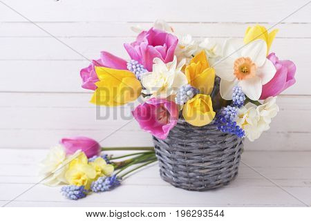 Pink yellow and white spring tulips and daffodils flowers in grey bucket on white wooden background. Selective focus. Place for text.