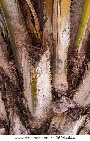 close up bark palm tree in nature garden