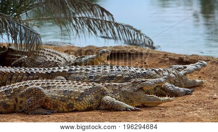 Crocodiles or true crocodiles are large aquatic reptiles that live throughout the tropics in Africa Asia the Americas and Australia.