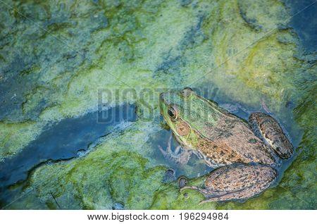 Bullfrog sitting pond slime in a swamp.