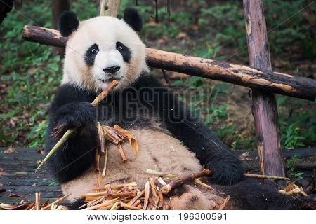 Giant Panda Looking At Camera And Eating Bamboo