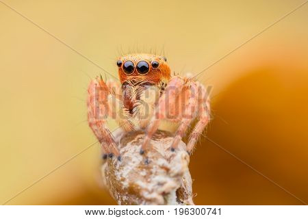 Close up Jumping spider on stem with yellow background