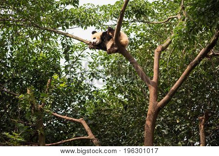 Young Giant Panda Sleeping At The Top Of A Tree